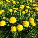 10 Gründe warum Löwenzahn im Frühling in den Green Smoothie gehört