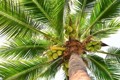 Kokos-Palme